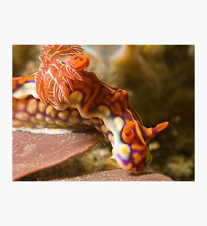 Miamira Magnifica Nudibranch Photographic Print