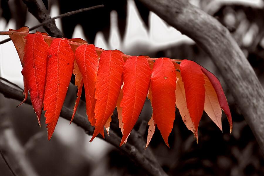 Fiery Foliage by Pierre L