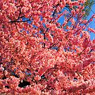 Cherry Blossom by Clayton Bruster