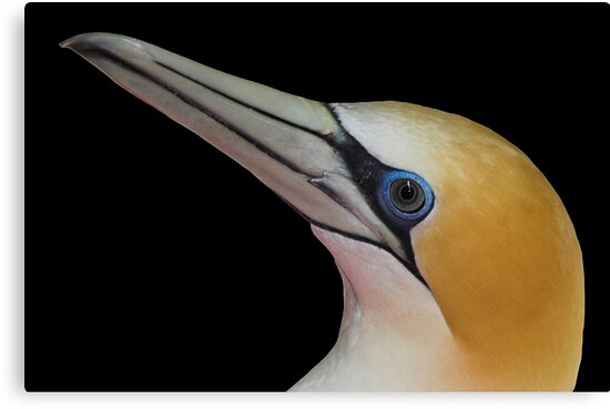 New Zealand Gannet by Robyn Carter