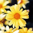 yellow daisy by bobjaret