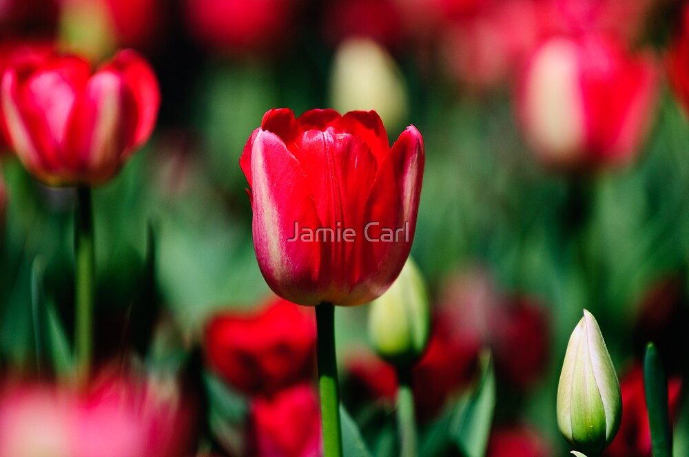 Tall Tulip Syndrome by Jamie Carl