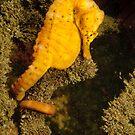 Pot-belly Seahorse - Hippocampus abdominalis by Andrew Trevor-Jones