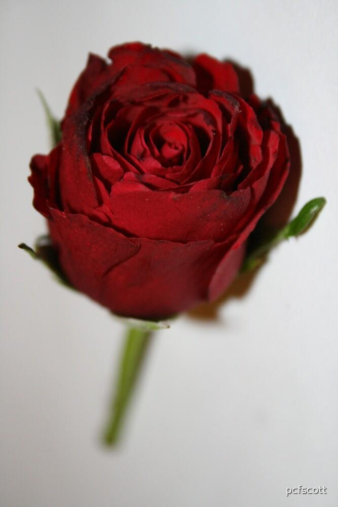 Rose by pcfscott