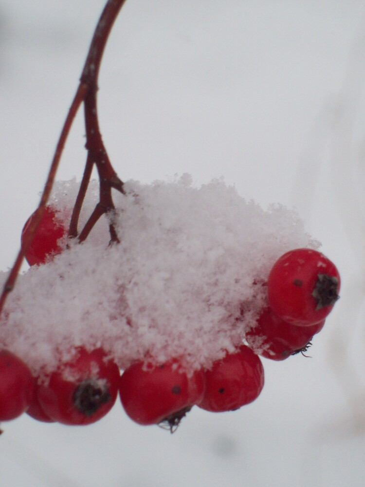 snow on the berries  by Michelle BarlondSmith