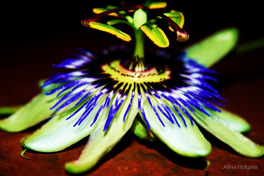 A highly saturated passion flower by Alina Holgate