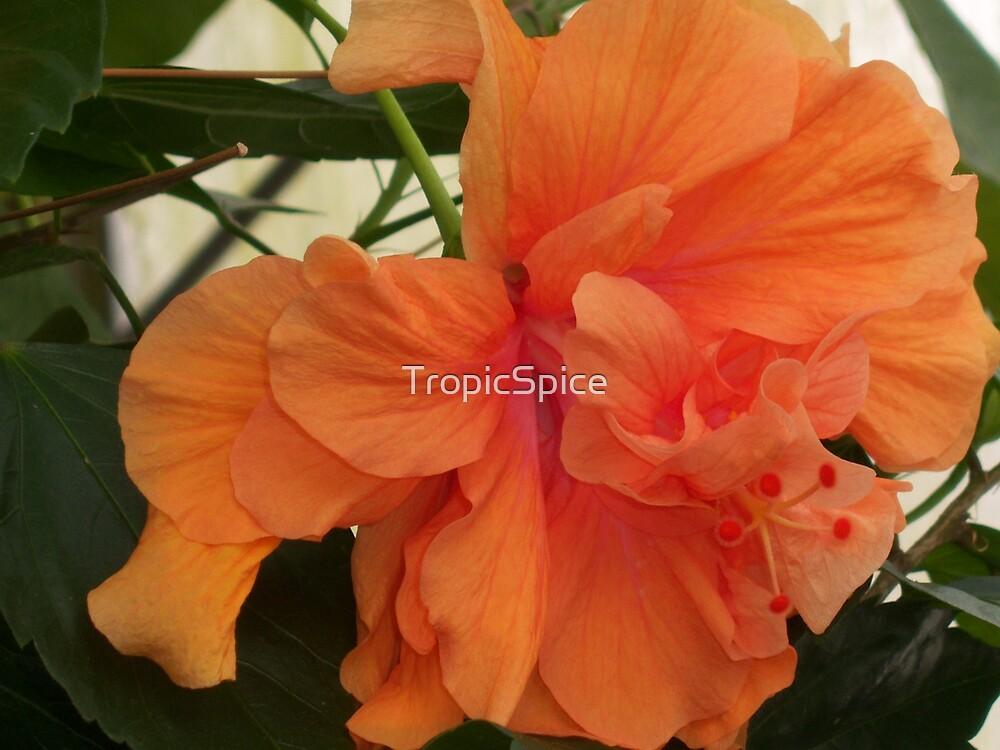 Orange Dream by TropicSpice