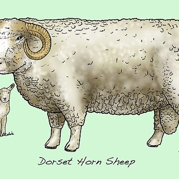 Dorset Horned Sheep by lewisroland