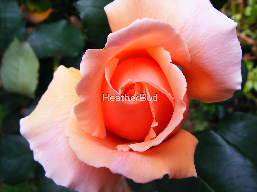 Apricot Rose by HeatherBud