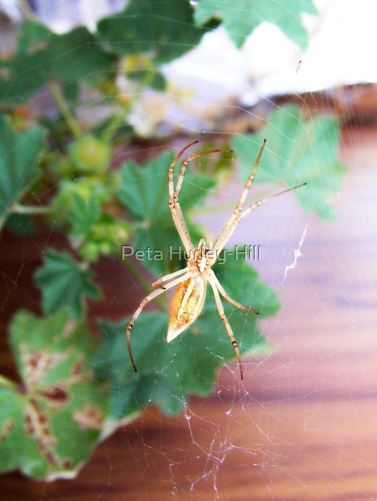 spider by Peta Hurley-Hill