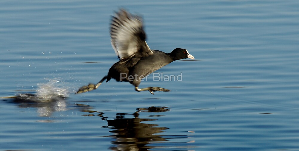 Coot taking flight by Peter Bland