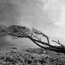 Wind swept by Norman Repacholi