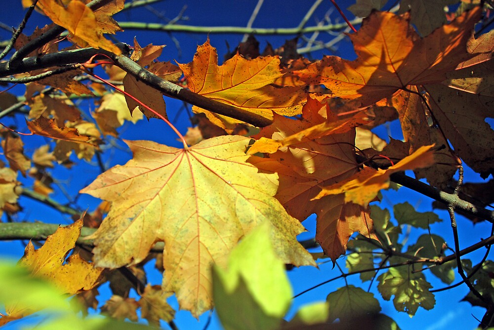Autumn Foliage by Angus Russell