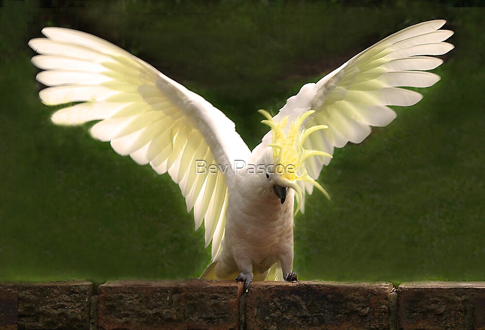 Sulphur Crested Cockatoo landing #2 by Bev Pascoe