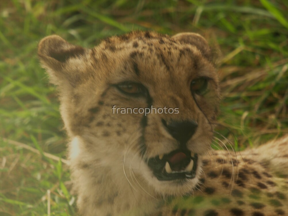Angry Cheetah by Franco De Luca Calce