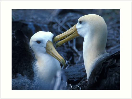 Albatros Pair on Galapagos by Dan Sweeney