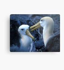 Albatros Pair on Galapagos Metal Print
