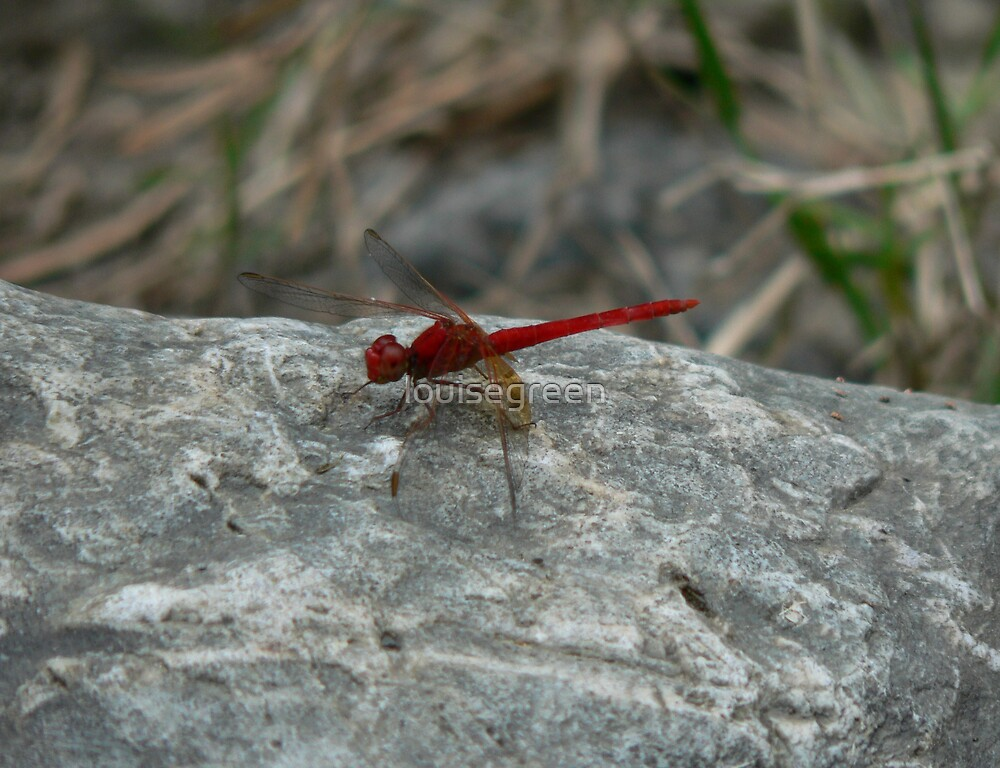 Red Dragonfly, Macleay River by louisegreen