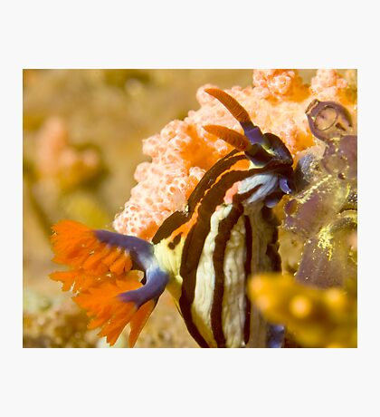 Nembrotha Purpureolineolate Nudibranch Photographic Print
