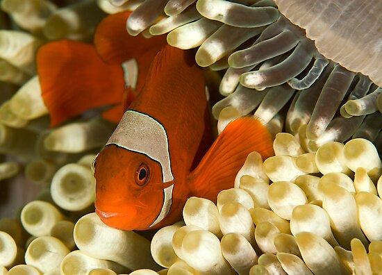 Clown Fish in Anemone by Dan Sweeney