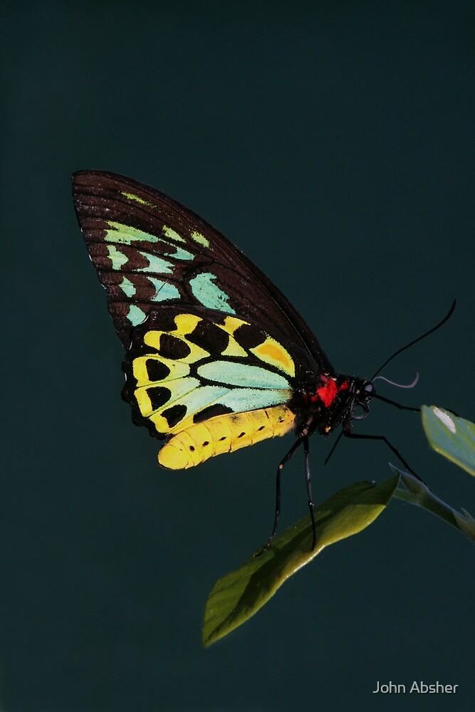 Birdwing Butterfly by John Absher