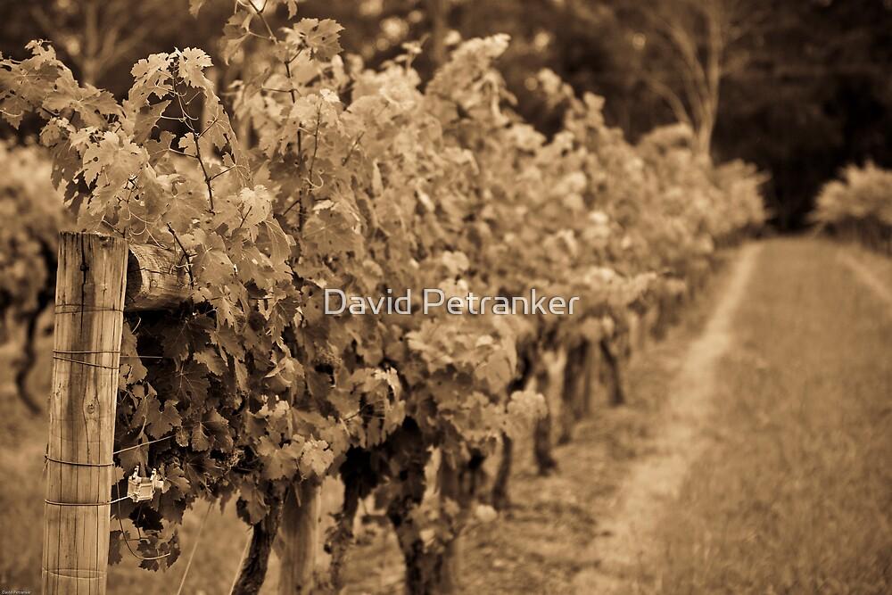Old Grape Vine by David Petranker