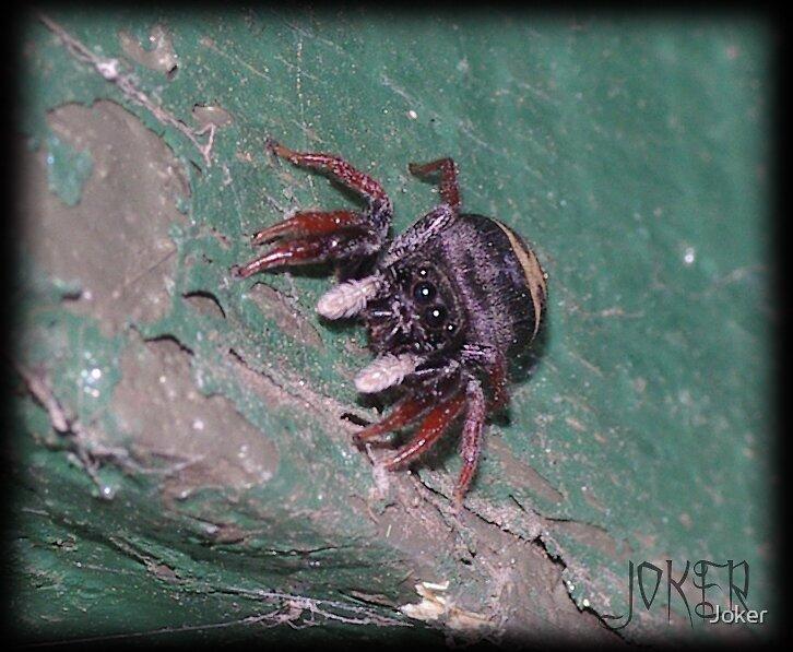 SPIDER by Joker