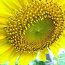 sunflower by michelle bergkamp