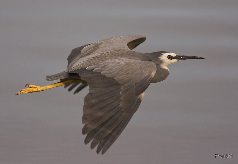 White Faced Heron  by FrankM