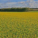Fields of Gold by RedHillDigital