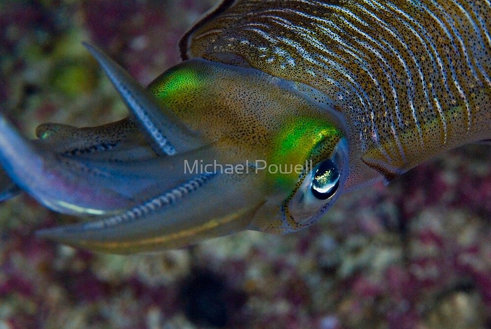 The color of Squid by Michael Powell