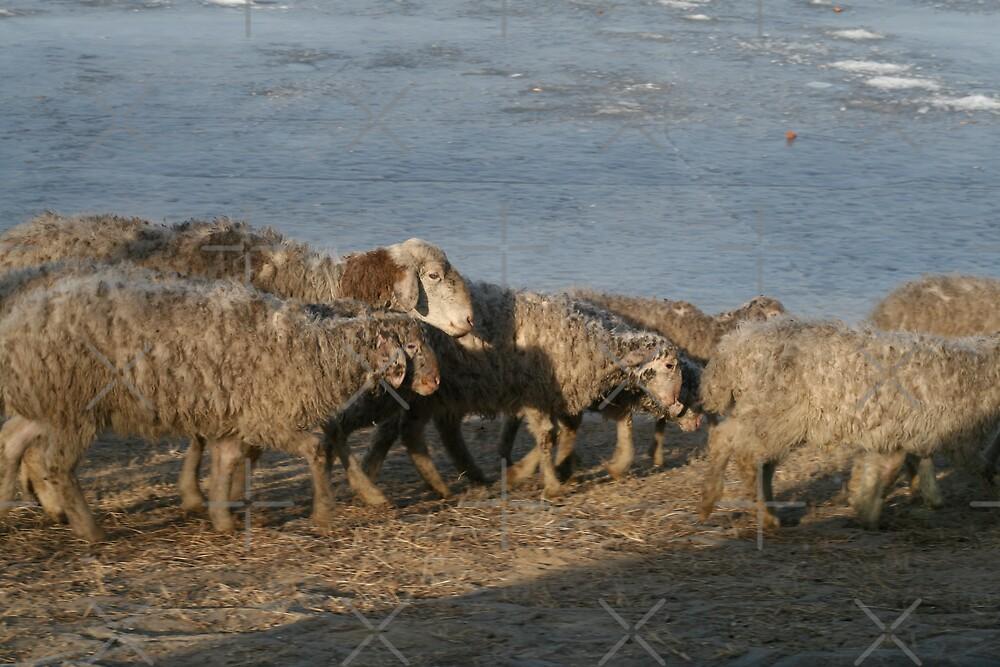Sheep by KLiu