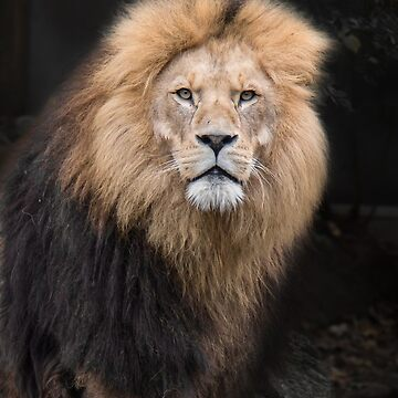 Closeup Portrait of a Male Lion by YLArt