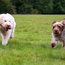 Italian Spinoni Dogs ~ Annabelle and Thane by heidiannemorris