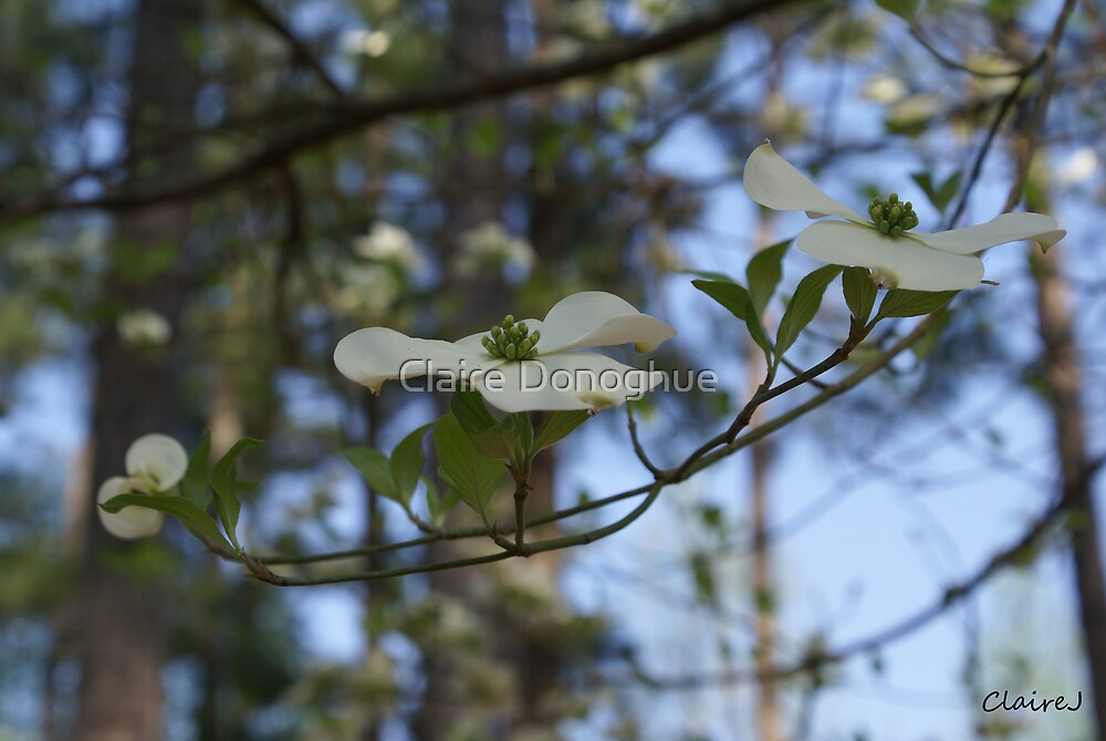 Dogwood Flower in Spring by Claire Donoghue