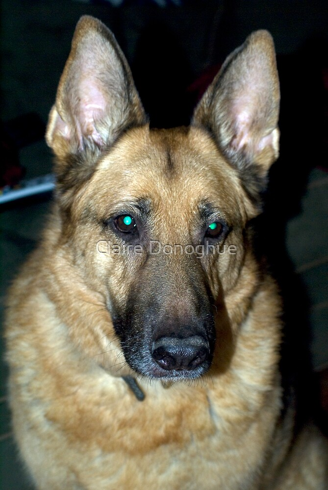 """A Beautiful """"German"""" Shepherd by Claire Donoghue"""
