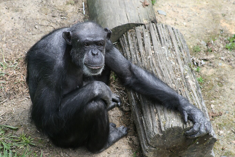 Chimpanzee by Jay Spadaro