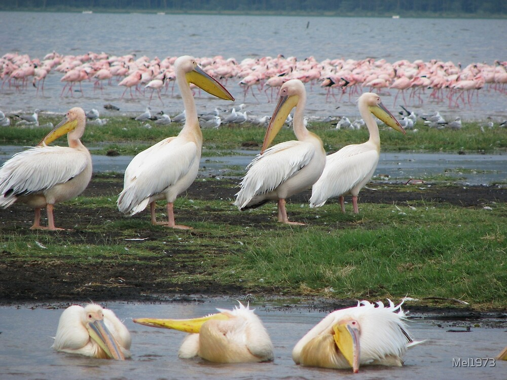 Pelicans, Lake Navaisha by Mel1973