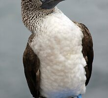 Blue Footed Booby by Sue  Cullumber
