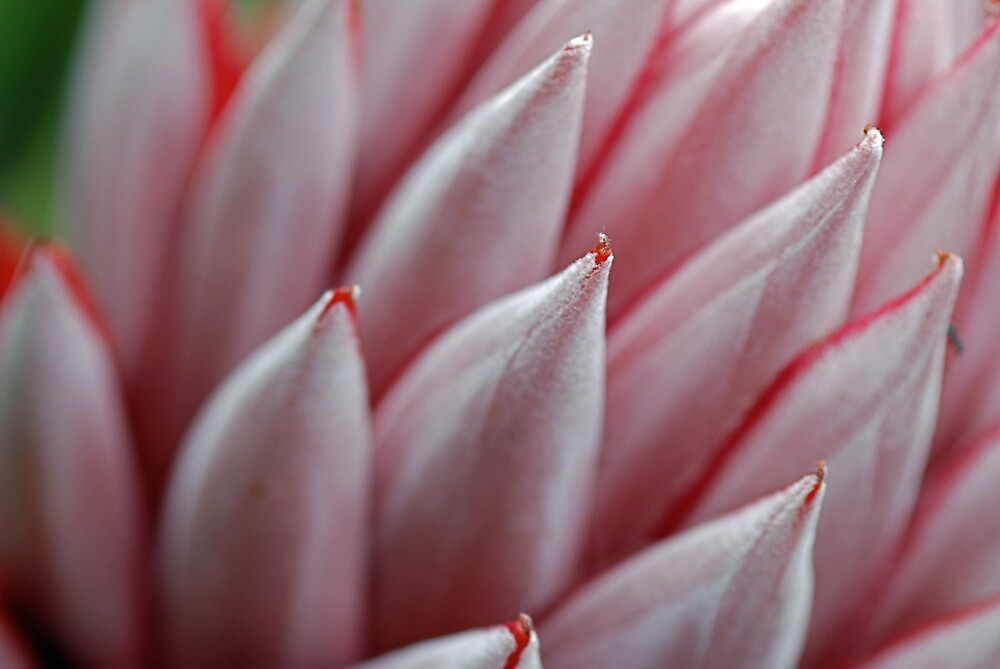 Protea (Mt Tomah) by Mary Canning