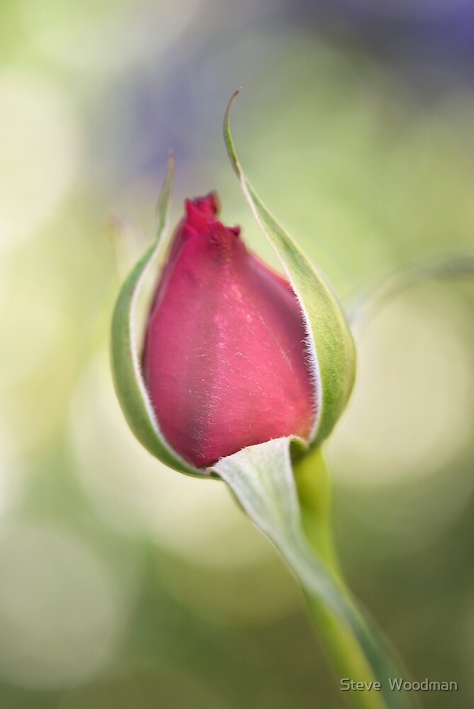 Rose bud by Steve  Woodman