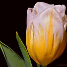 White And Yellow Tulip 3 by Lynda Anne Williams