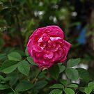 red rose macro by michelle bergkamp
