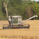 wheat harvest by michelle bergkamp