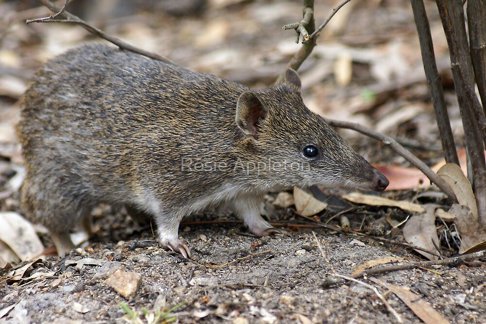 """Southern brown Bandicoot """"Isoodon obesulus obesulus"""" - Cranbourne, Victoria by Rosie Appleton"""