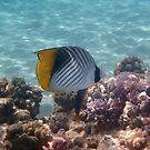 Threadfin Butterflyfish Red Sea by hurmerinta