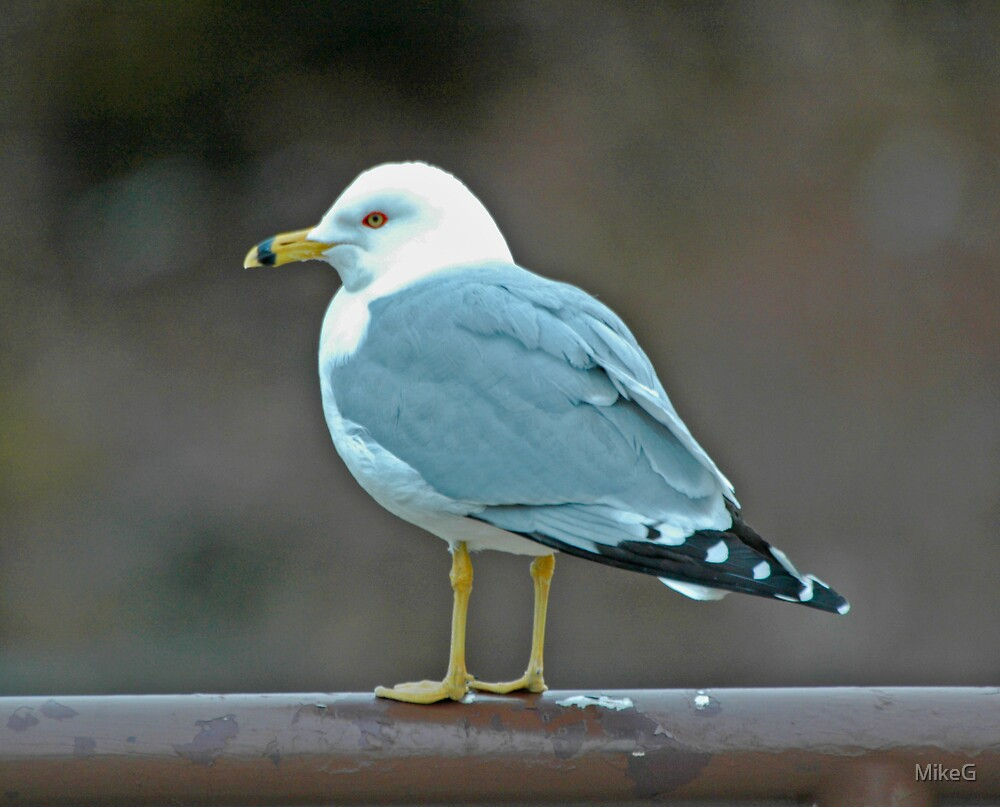 Gull by MikeG