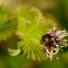 Furry Bumblebee by Alana Ranney