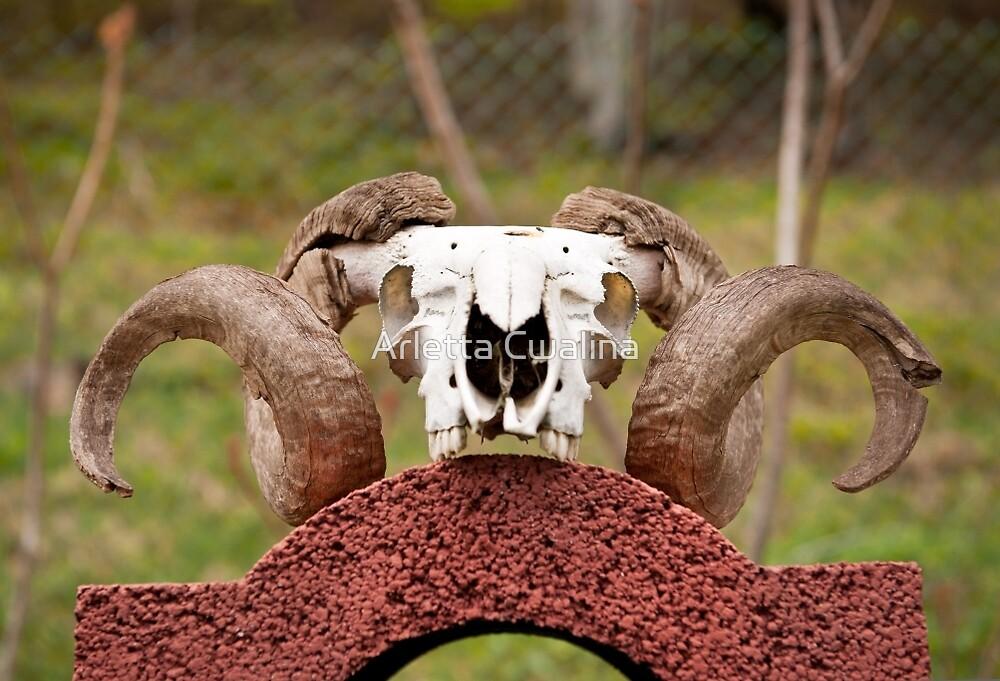 Ram horns on skull  by Arletta Cwalina