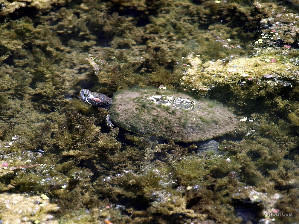 Red Eared Slider by kimbarose
